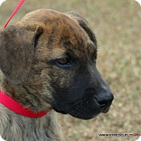 Dutch Shepherd/Boxer Mix Puppy for adoption in parissipany, New Jersey - OPTIMUS