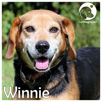 Beagle Dog for adoption in Chicago, Illinois - Winnie