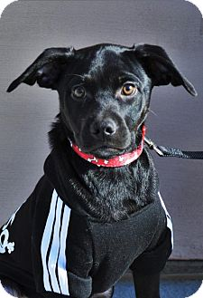 German Shepherd Dog/Australian Cattle Dog Mix Puppy for adoption in Gretna, Nebraska - Wilson *Jasmine's Puppy*