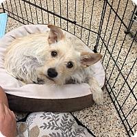 Adopt A Pet :: Shia - Thousand Oaks, CA