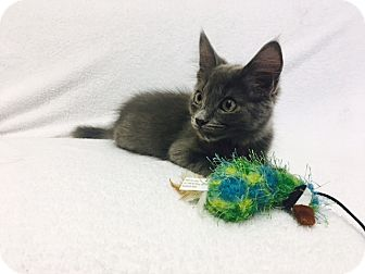 Domestic Mediumhair Kitten for adoption in Mission Viejo, California - Mankey