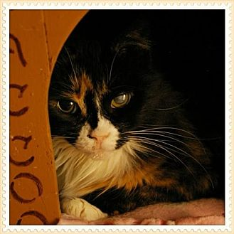 Domestic Longhair Cat for adoption in Island Heights, New Jersey - Angie baby