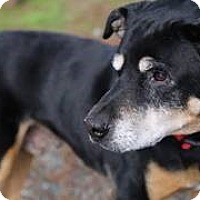 English Shepherd Mix Dog for adoption in Petaluma, California - Rocky