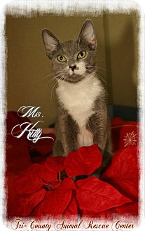 Domestic Shorthair Cat for adoption in Shippenville, Pennsylvania - Miss Kitty