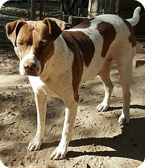 American Bulldog/Pointer Mix Dog for adoption in Allentown, New Jersey - Sis