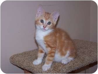 American Shorthair Kitten for adoption in Chester, Virginia - Jason