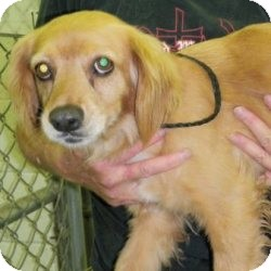 Cocker Spaniel/Spaniel (Unknown Type) Mix Dog for adoption in Raleigh, North Carolina - Molly