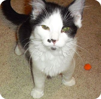 Domestic Longhair Kitten for adoption in Fairborn, Ohio - Pierre-Lexington Litter