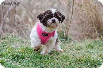 Shih Tzu Dog for adoption in Howell, Michigan - Holly
