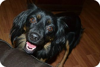 Cocker Spaniel/Cavalier King Charles Spaniel Mix Dog for adoption in Marietta, Georgia - Dora