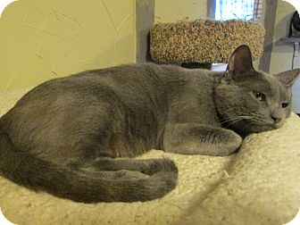 Russian Blue Cat for adoption in Richland, Michigan - Mama Angel