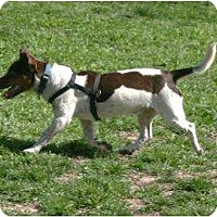 Jack Russell Terrier Dog for adoption in Columbia, Tennessee - Pate