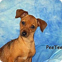 Adopt A Pet :: Pee-Tee - Ft. Myers, FL