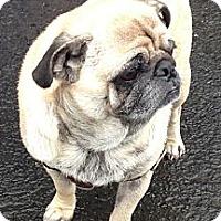 Adopt A Pet :: Gizmo - Avondale, PA