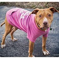 Adopt A Pet :: Bree - Des Peres, MO