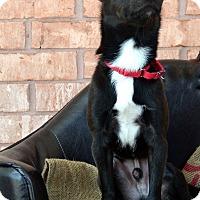 Adopt A Pet :: Night - Bridgeton, MO