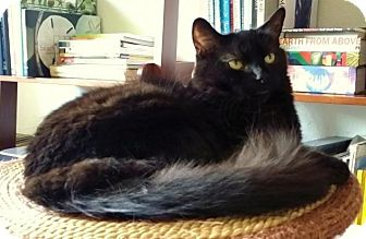 Domestic Longhair Cat for adoption in Santa Ana, California - Captain Black