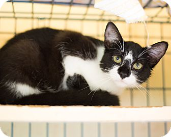 Domestic Shorthair Cat for adoption in Houston, Texas - Aaron