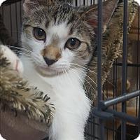 American Shorthair Kitten for adoption in Hallandale, Florida - Samuel