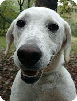 Labrador Retriever Mix Dog for adoption in Capon Bridge, West Virginia - Ajax