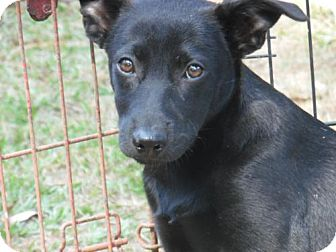 Labrador Retriever Mix Puppy for adoption in Providence, Rhode Island - Bubbles CC