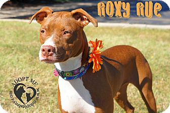 Pit Bull Terrier Mix Dog for adoption in Newport, Kentucky - Roxy Rue