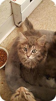 Domestic Longhair Kitten for adoption in Lacey, Washington - Chloe