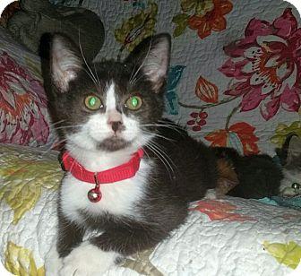 Colorpoint Shorthair Kitten for adoption in Winterville, North Carolina - FELIX