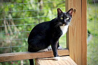Domestic Shorthair Cat for adoption in San Antonio, Texas - Maddie
