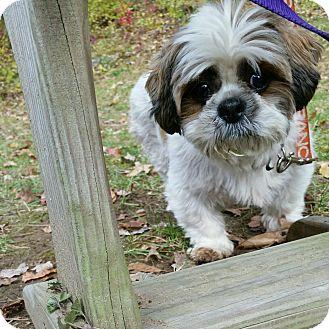 Shih Tzu Dog for adoption in Mount Kisco, New York - DeeDee