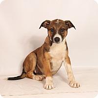Adopt A Pet :: Hank Heeler - St. Louis, MO