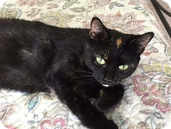 Domestic Shorthair Cat for adoption in Toledo, Ohio - Gabby