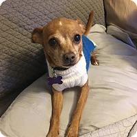 Adopt A Pet :: Paco - St Louis, MO