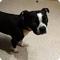 Boston Terrier Dog for adoption in Lucknow, Ontario - maggie- receiving medical care