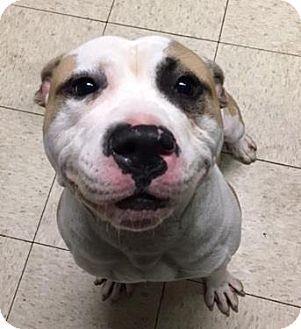 American Bulldog/Terrier (Unknown Type, Medium) Mix Dog for adoption in Fulton, Missouri - Yukon- Ohio