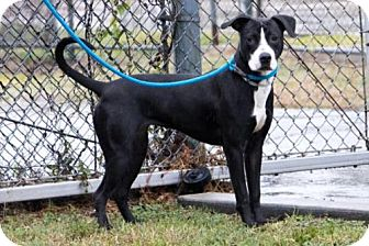 Boxer Mix Dog for adoption in Houston, Texas - WOODLYN