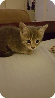 Domestic Shorthair Kitten for adoption in Tucson, Arizona - Amelia