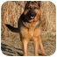 Photo 1 - German Shepherd Dog Dog for adoption in Hamilton, Montana - Molly