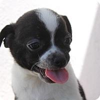 Adopt A Pet :: Panda - Van Nuys, CA