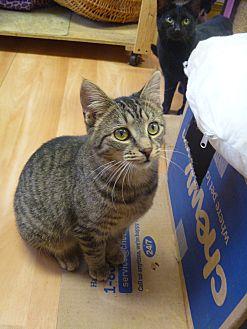 Domestic Shorthair Kitten for adoption in MADISON, Ohio - Pandora