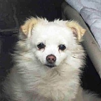 Pomeranian Mix Dog for adoption in Irvine, California - Buttercup