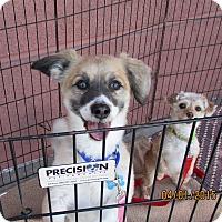 Adopt A Pet :: Moxxy - Lomita, CA