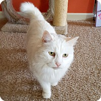 Adopt A Pet :: Snow Baby - Colmar, PA