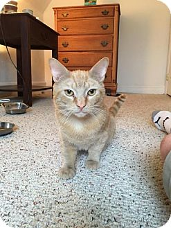 Domestic Shorthair Cat for adoption in Baltimore, Maryland - Poe- Pending Medical