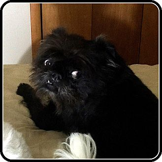 Affenpinscher Dog for adoption in Seymour, Missouri - OSCAR MADISON in Wichita, KS.