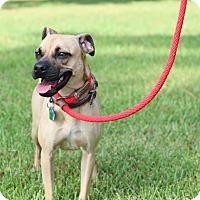 Pekingese/Terrier (Unknown Type, Medium) Mix Dog for adoption in Austin, Texas - Cami