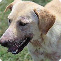Labrador Retriever Dog for adoption in Jay, New York - Annie