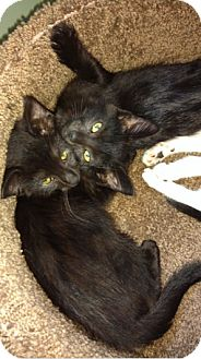 Domestic Shorthair Kitten for adoption in Cincinnati, Ohio - Kylo & Ren