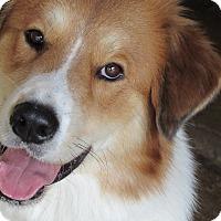 Adopt A Pet :: Savanah - Austin, TX