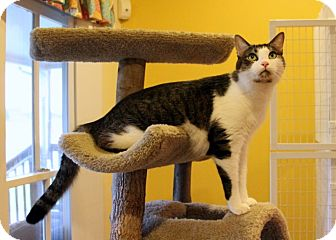 Domestic Shorthair Cat for adoption in Gaithersburg, Maryland - Mo